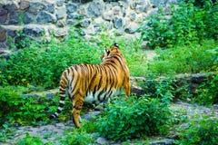 Bella tigre dell'Amur fotografia stock