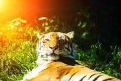 Bella tigre dell'Amur immagine stock