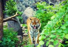 Bella tigre dell'Amur immagini stock