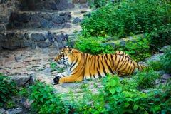 Bella tigre dell'Amur fotografia stock libera da diritti