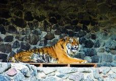 Bella tigre dell'Amur immagini stock libere da diritti