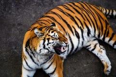 Bella tigre dell'Amur immagine stock libera da diritti