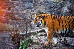Bella tigre dell'Amur fotografie stock libere da diritti