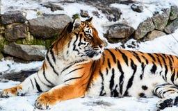 Bella tigre dell'Amur su neve Tigre nella foresta di inverno fotografia stock libera da diritti