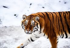 Bella tigre dell'Amur su neve Tigre nella foresta di inverno fotografie stock libere da diritti