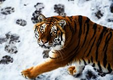 Bella tigre dell'Amur su neve Tigre nella foresta di inverno fotografie stock