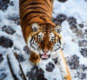 Bella tigre dell'Amur su neve Tigre nella foresta di inverno immagine stock libera da diritti