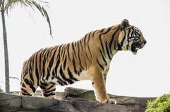 Bella tigre di urlo Fotografie Stock Libere da Diritti