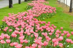 Bella Tulip Garden rosa Immagini Stock Libere da Diritti
