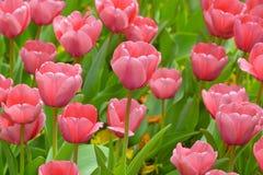 Bella Tulip Garden rosa Fotografia Stock