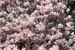 Bella Tulip Tree di fioritura rosa Fotografia Stock