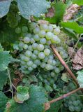 Bella uva bianca matura che appende sull'albero dell'uva fotografia stock libera da diritti