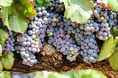 Bella uva della vigna Fotografie Stock Libere da Diritti