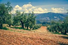 Bella valle con vecchi di olivo a Granada, Spagna Fotografia Stock