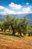 Bella valle con vecchi di olivo a Granada, Spagna Immagine Stock Libera da Diritti