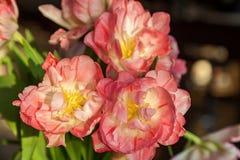 Bella varietà di tulipani rosa, mazzo del fiore dei tulipani di bello fiore dei tulipani Fotografie Stock