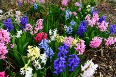 Bella, variopinto, fragrante, la molla fiorisce il giacinto Fotografie Stock