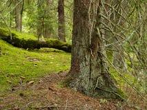 Bella vecchia foresta Fotografia Stock