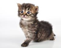 Bella vecchia seduta sveglia del gattino da 20 giorni Immagini Stock