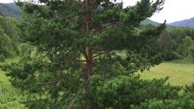 Bella vegetazione sul pendio di collina del supporto Sinyuha basso Repubblica di Altai Fotografia Stock