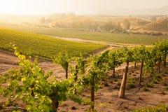 Bella vigna fertile di mattina Sun a dell'uva Immagine Stock