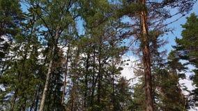Bella vista da cielo blu e dalla cima dei pini alti a terra stock footage
