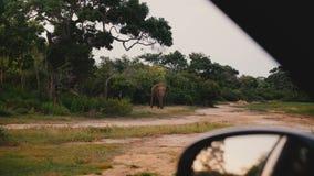 Bella vista dall'automobile di safari, grande elefante selvaggio pericoloso che esamina diritto la macchina fotografica in forest stock footage