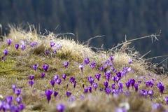 Bella vista dei croco viola meraviglioso di fioritura nel Ca Fotografia Stock