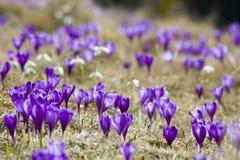 Bella vista dei croco viola meraviglioso di fioritura nella valle delle montagne carpatiche sulla mattina luminosa della molla Ec Fotografie Stock