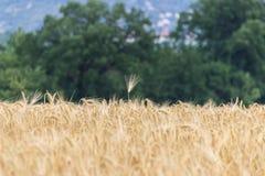 Bella vista del campo a un giorno soleggiato Frumento - alto vicino Fotografie Stock Libere da Diritti