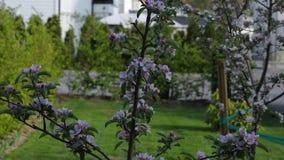 Bella vista dell'iarda anteriore del giardino privato Di fioritura bianco splendido e di rosa di melo su fondo stock footage