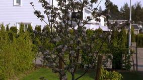Bella vista dell'iarda anteriore del giardino privato Di fioritura bianco splendido e di rosa di melo su fondo video d archivio