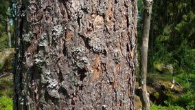 Bella vista della corteccia di vecchio pino Bei ambiti di provenienza della natura archivi video