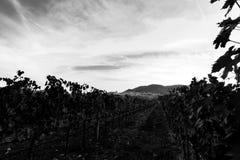 Bella vista della valle dell'Umbria all'alba, con le vigne nella priorità alta, città di Assisi nei precedenti, sotto un profondo Immagine Stock