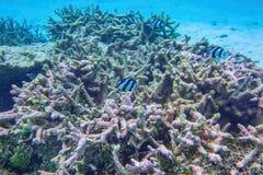Bella vista delle barriere coralline morte Mondo subacqueo Immergendosi nell'Oceano Indiano, fotografia stock libera da diritti