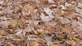 Bella vista delle foglie di autunno gialle e marroni asciutte dell'albero di acero sulla terra video d archivio