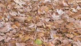 Bella vista delle foglie di autunno gialle e marroni asciutte dell'albero di acero sulla terra archivi video