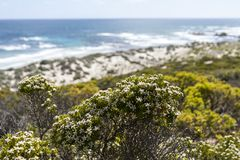 Bella vista sul mare con i fiori bianchi, Australia Meridionale, isola del canguro fotografie stock libere da diritti