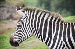 Bella zebra Fotografia Stock