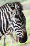 Bella zebra Fotografia Stock Libera da Diritti