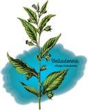 Belladonna 1 illustrazione vettoriale