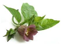 Belladonna Atropa belladonna Stock Image
