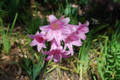 Belladonna Lily Pink bloom. Royalty Free Stock Photos