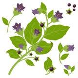 Belladonna plant Royalty Free Stock Photography
