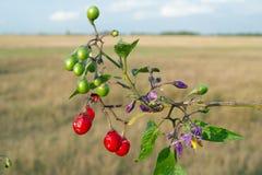 Belladonna rossa (dulcamara del solano) fotografia stock libera da diritti