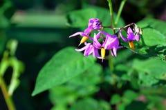 Belladonna soleggiata Fotografie Stock