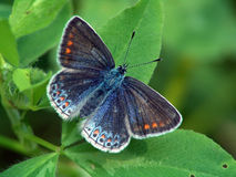bellargus lysandra Obrazy Royalty Free