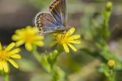 Bellargus van vlinderpolyommatus Stock Fotografie