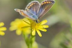 Bellargus van vlinderpolyommatus Stock Afbeeldingen