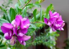 Bellarine för namn för Polygalamyrtifolia gemensam ärta, Myrten-blad milkwort, papegojabuske, Polygala, September buske royaltyfri fotografi